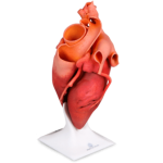 3d-systems-cjp-heart-model-150x150